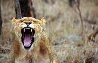 A photo of a lion roaring