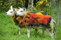 Photo of gorgeous sheep