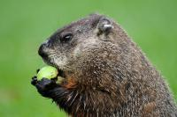 Photo of a groundhog