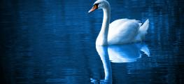 Image of swan
