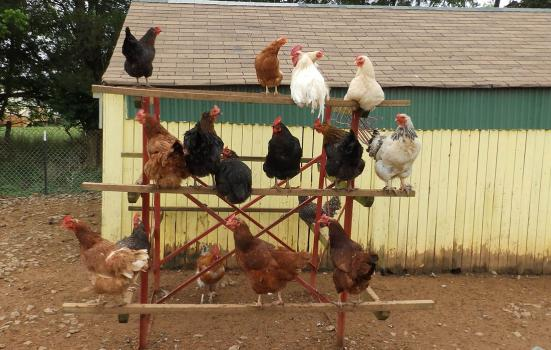 chickens roosting on a fence outside a barn